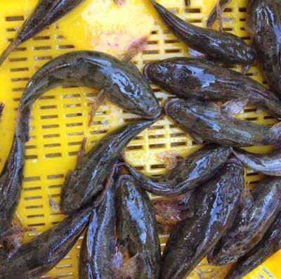 江苏省南京市溧水区沙塘鳢 野生 0.5公斤以下