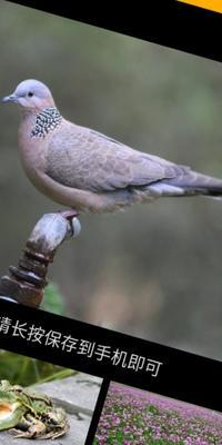 山东省菏泽市郓城县肉鸽 600-800克