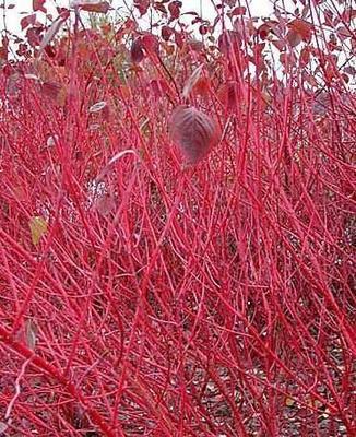 山东省威海市环翠区丛生红瑞木