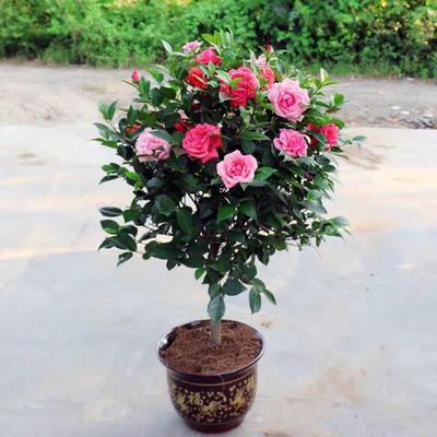 湖北省武汉市新洲区茶花树 10cm以下
