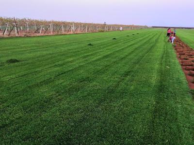 陕西省西安市长安区冷季性草坪