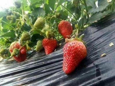辽宁省大连市金州区九九草莓 30克以上
