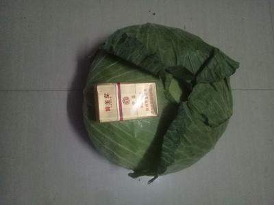 河南省开封市通许县京丰一号甘蓝 3.0~3.5斤