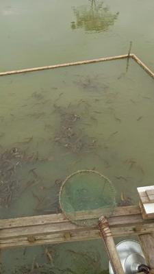 广西壮族自治区来宾市象州县台湾泥鳅 55尾/公斤 10-15cm 人工养殖