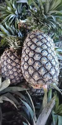 云南省玉溪市红塔区无眼菠萝 3 - 4斤