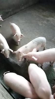 四川省自贡市富顺县大约克仔猪