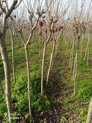 陕西省汉中市汉台区中国红樱 4公分以下 1~1.5米