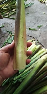 广西壮族自治区桂林市全州县茭白笋 20-25cm