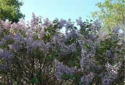 辽宁省铁岭市开原市紫丁香 4cm以下 2cm以下 0.5米以下