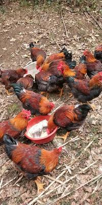 贵州省遵义市遵义县麻鸡 公 6-7斤