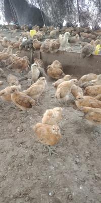 广西壮族自治区河池市金城江区土鸡 统货 2斤以下
