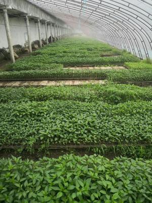 尖椒苗 8~10片真叶