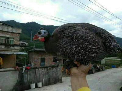 广东省梅州市梅县区野雞 统货 2-3斤