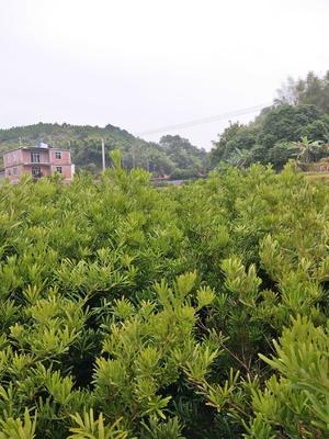 广西壮族自治区钦州市灵山县罗汉松
