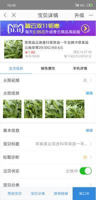 云南省保山市腾冲县草果苗 独本苗 0.5米以下