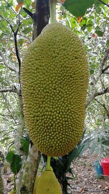 海南省五指山市五指山市海南菠萝蜜 15斤以上