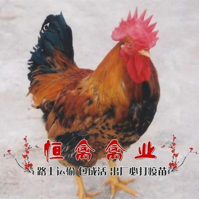 湖南省衡阳市蒸湘区良凤花鸡苗