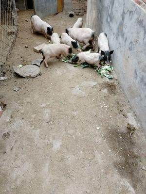 河北省邯郸市曲周县巴马香猪 20-40斤