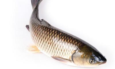 这是一张关于池塘草鱼 人工养殖 0.5-3公斤的产品图片
