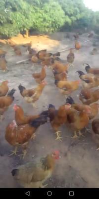 广西壮族自治区玉林市博白县土鸡 统货 4-5斤