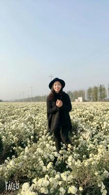 这是一张关于黄山贡菊 袋装 特级的产品图片