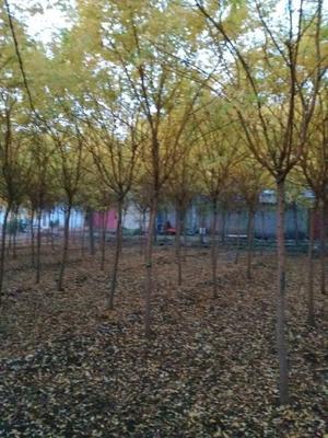 这是一张关于金枝槐的产品图片