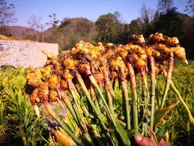 这是一张关于二黄姜 带土 9两以上的产品图片