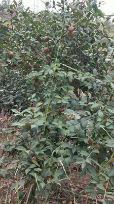 江西省吉安市新干县茶叶籽油