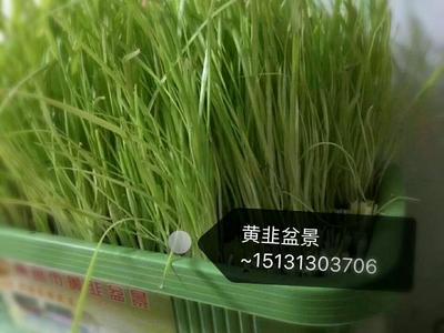 河北省邢台市南宫市韭菜种子