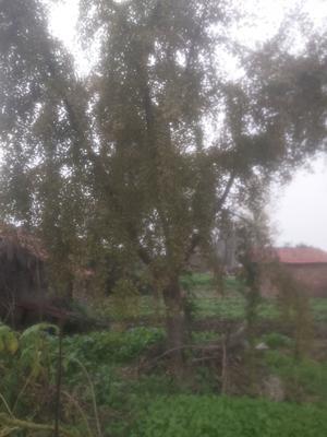 湖北省荆州市江陵县古银杏树