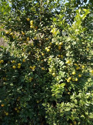 广西壮族自治区河池市宜州市野生山柠檬 1 - 1.5两