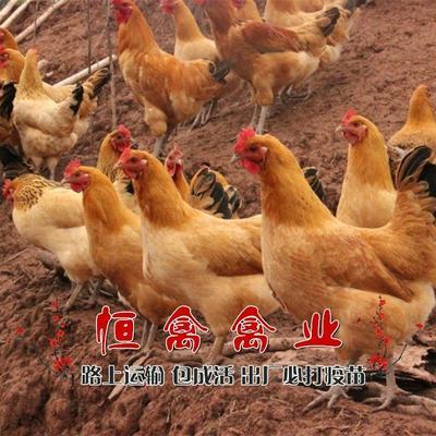 湖南省衡阳市蒸湘区黄羽青脚土鸡苗