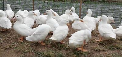 这是一张关于白鸭 统货 全散养 7-8斤的产品图片