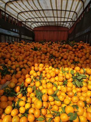 这是一张关于蜜桔 5 - 5.5cm 2 - 3两的产品图片