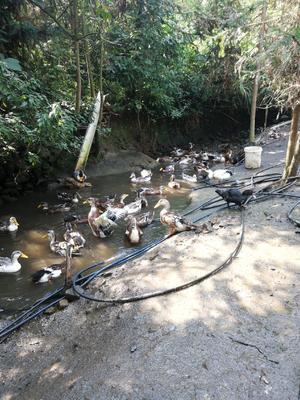 这是一张关于土鸭 统货 全散养 5-6斤的产品图片