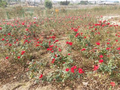 浙江省金华市永康市红玫瑰