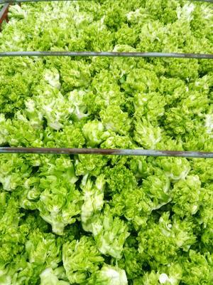 这是一张关于四川儿菜 1.0~1.5斤的产品图片