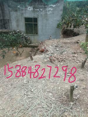 这是一张关于野山鸡 2-3斤的产品图片