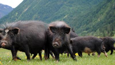 甘肃省甘南藏族自治州夏河县藏香猪 20斤以下