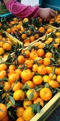 这是一张关于南丰蜜桔 4 - 4.5cm 1两以下的产品图片
