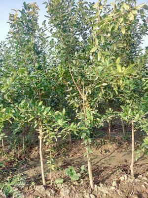 这是一张关于河阴软籽石榴树苗的产品图片