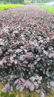 湖南省长沙市雨花区大叶红