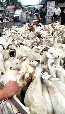 这是一张关于肉羊 80-110斤的产品图片