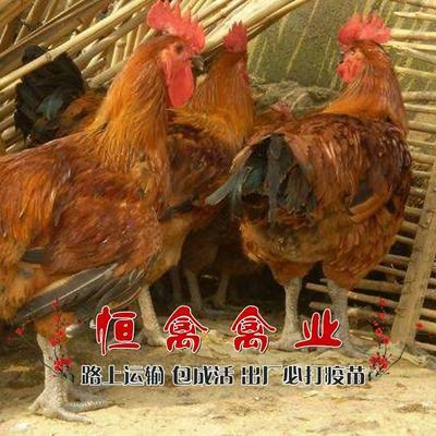 湖南省衡阳市蒸湘区快大型麻羽乌鸡苗