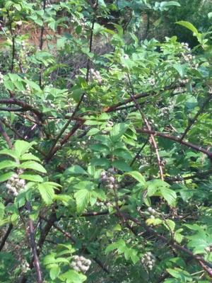 贵州省六盘水市盘县野生黑莓