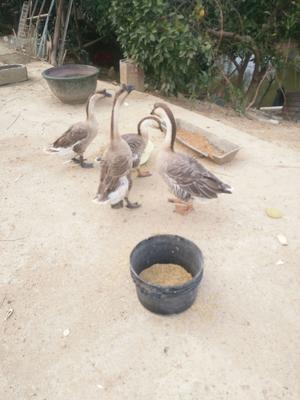 湖南省永州市冷水滩区农家土鹅 母 全散养 6-8斤