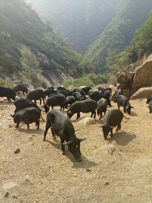 河北省张家口市涿鹿县藏香猪 160斤以上