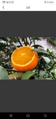 这是一张关于红美人柑桔 4 - 4.5cm 4两以上的产品图片