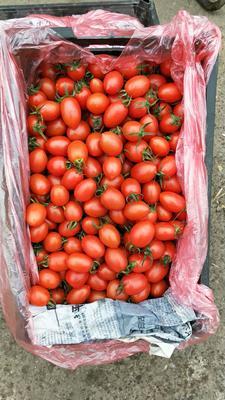 河北省邯郸市丛台区粉贝贝小樱桃柿 不打冷 硬粉 弧一以下