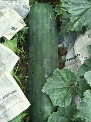 广西壮族自治区北海市铁山港区黑皮冬瓜 15斤以上 黑皮